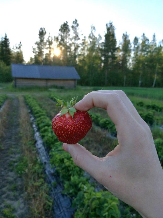 Lännentila on yksi Oulun seudun mansikkatiloista