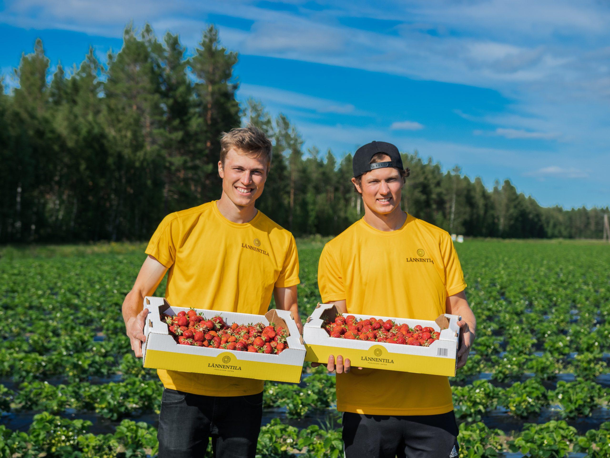 Lännentila on Oulun ja Raahen alueella suurin mansikkatila. Päälajikkeena on Polka, suomalaisten suosikkimansikka.
