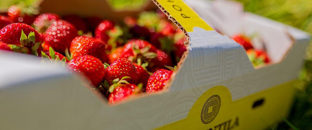 Lännentilan makeaa Polka-mansikkaa löydät Oulun ja Raahen alueen kaupoista ja laajasti myös muualta Pohjois-Suomesta.