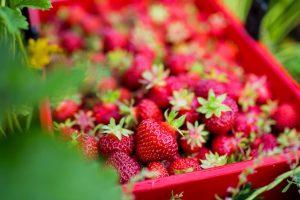 Lännentilan makeaa mansikkaa saa Oulun alueen kaupoista ja suoraan tilalta, Lumijoelta Oulun alueelta